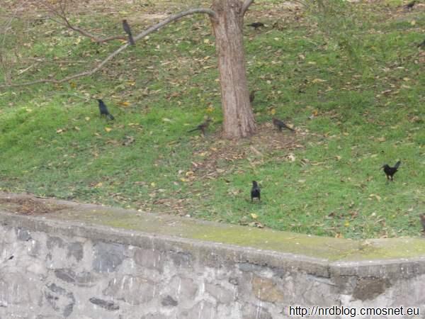 Meksykański zamiennik wrony