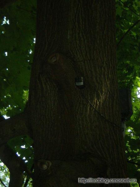 Olewające drzewo