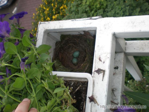 Gniazdo kosów na balkonie
