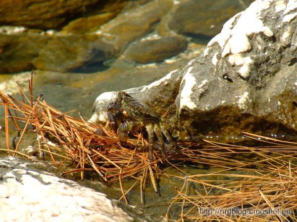 Krab w Chorwacji